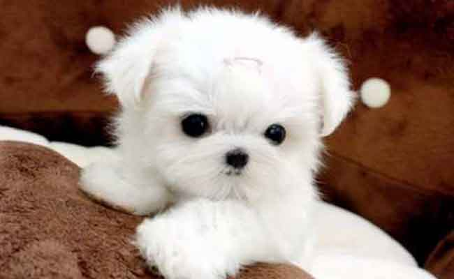 Micro Teacup Maltese Dogs